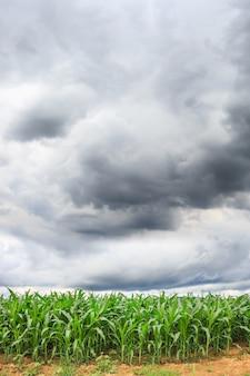 Fond de champ de maïs vert