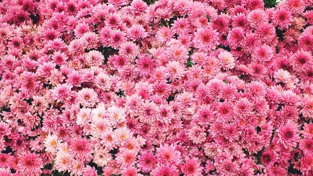 Fond de chrysanthème rose