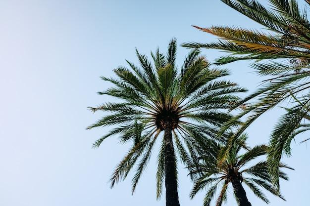 Fond de ciel bleu avec la silhouette de quelques palmiers tropicaux au coucher du soleil vu de dessous.