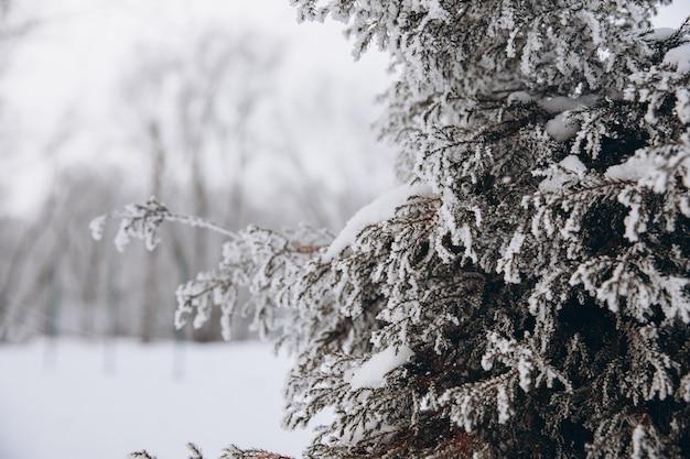 Fond clair d'hiver avec une branche de pin en gelée. branches couvertes de neige.