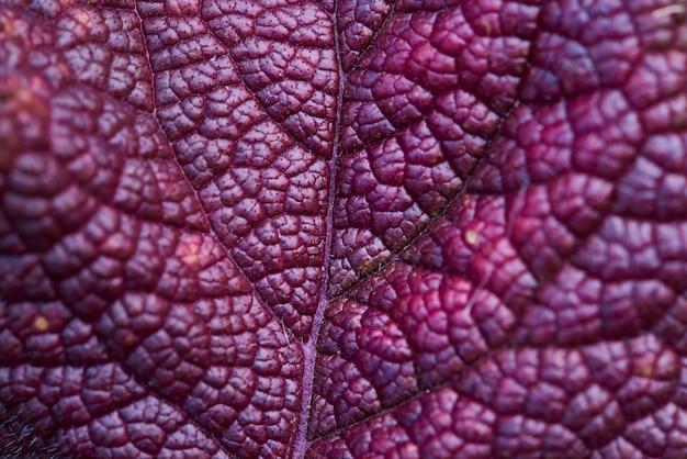 Fond close-up feuille de bourgogne foncé.