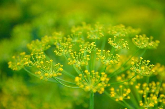 Fond avec closeup aneth parapluie. plante de jardin.