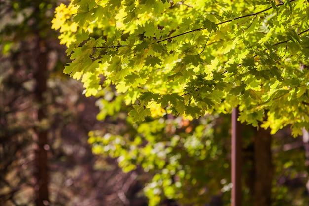 Fond coloré de feuilles d'érable automne jaune