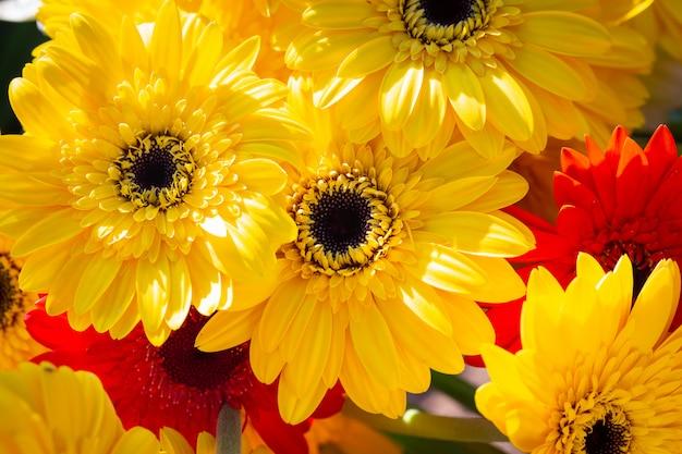 Fond coloré de gerbera daisy jaune