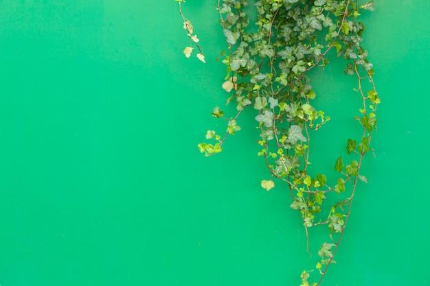 Fond coloré avec une plante tropicale. fond vert avec du lierre vert au soleil. copier l'espace