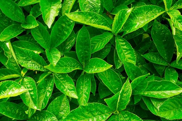 Fond de congé vert. arbuste à feuilles persistantes