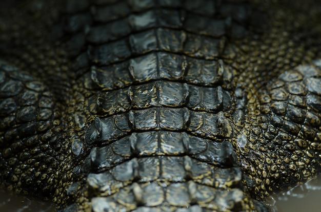 Fond en cuir de crocodile de gros plan de crocodile de siam