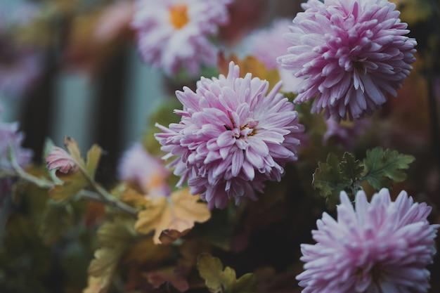 Fond d'écran photo végétal. chrysanthèmes roses délicats