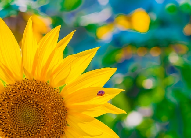 Fond d'écran scénique avec un gros plan de tournesol sur fond vert avec des fleurs. gros plan de tournesol, accent sélectif sur fond flou