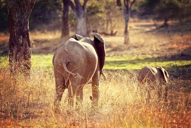 Fond d'éléphants