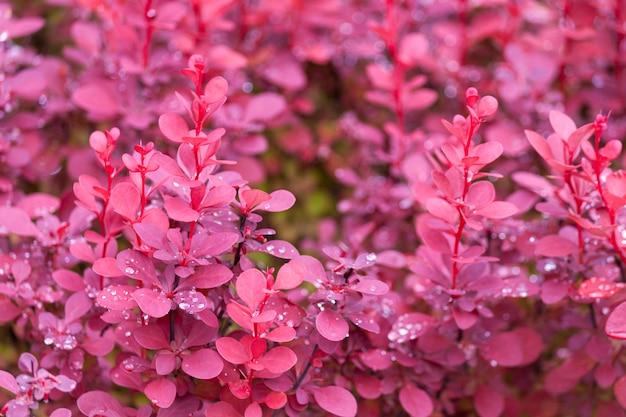 Fond de l'épine-vinette violet après la pluie.