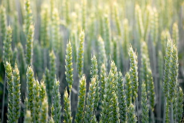 Un fond d'épis de blé vert au lever du soleil. champ de blé éclairé par les rayons du soleil du matin