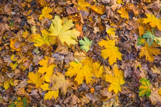 Fond d'érable jaune laisse sur le sol dans la forêt