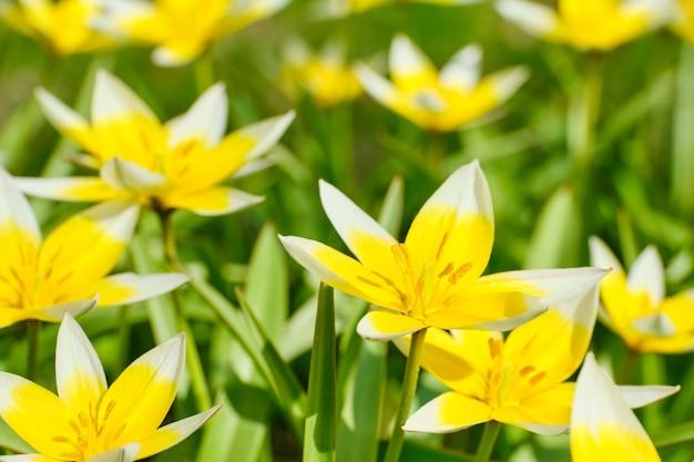 Fond d'été de fleurs de tulipes à floraison tardive dans le parc.