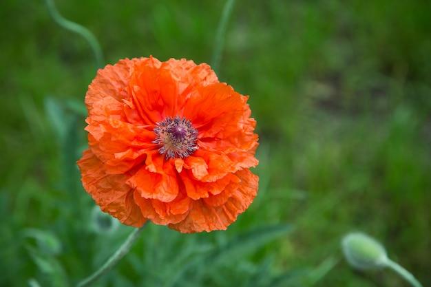 Fond d'été avec grande fleur de pavot