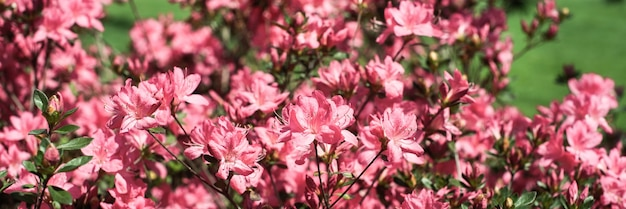 Fond d'été rose délicat. buisson fleuri, nombreuses fleurs et boutons. floraison printanière. mise au point sélective.