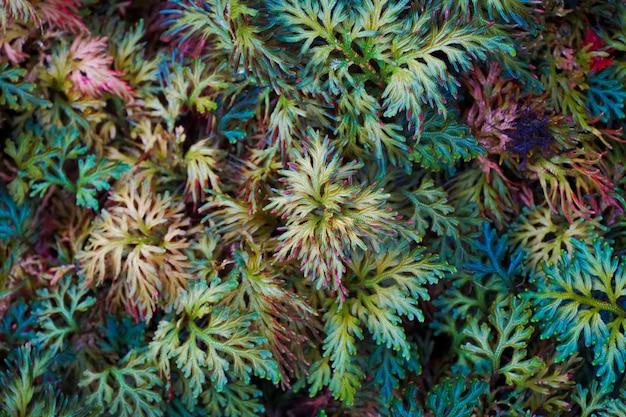 Un fond exotique de fougères spike moss.