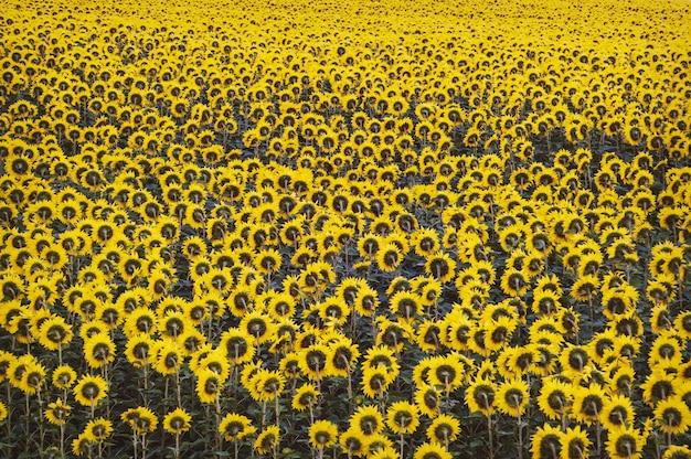 Fond fait de beaux tournesols jaunes. beaucoup de tournesols sur un champ agricole