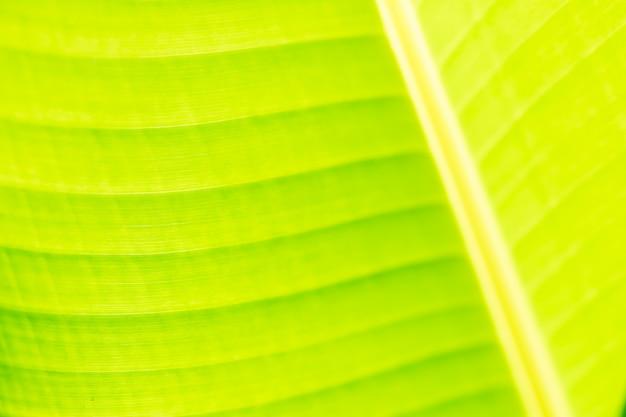 Fond de feuille de bananier vert frais