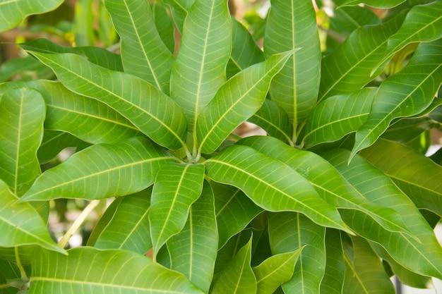 Fond de feuille de mangue
