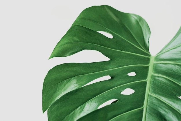 Fond de feuille de monstera vert avec espace design