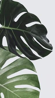 Fond de feuille de plante monstera