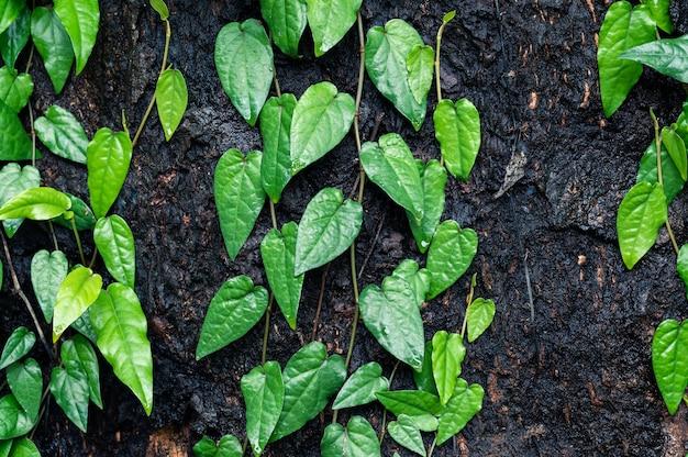 Fond de feuille vert lierre
