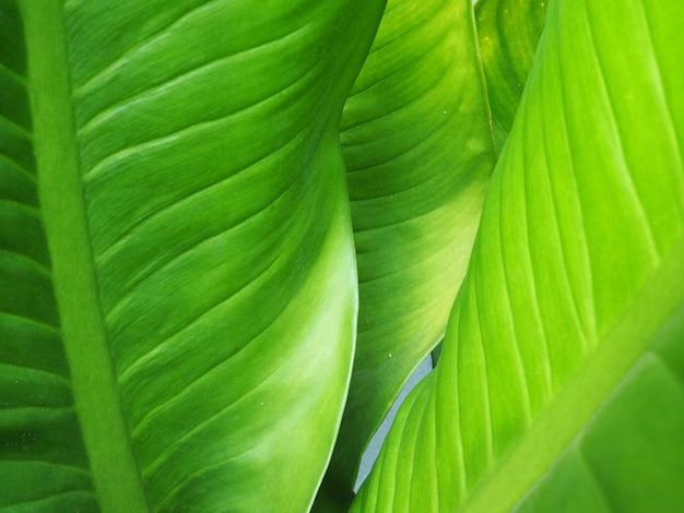 Fond de feuille verte tropicale closeup. grande nature feuillage paume fond vert.