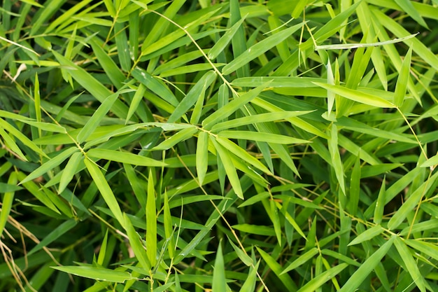 Fond de feuilles de bambou
