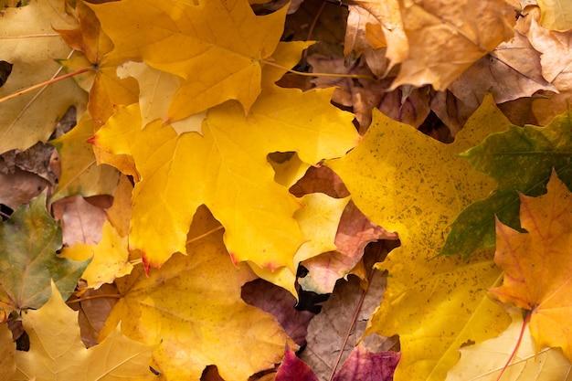 Fond de feuilles d'érable automnales colorées dans un matin.