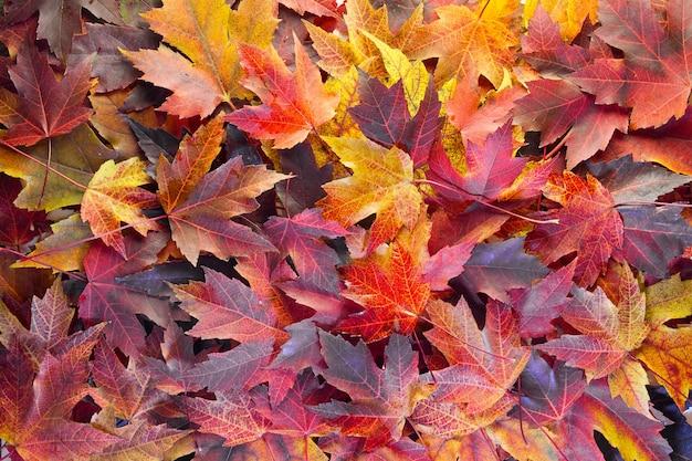 Fond de feuilles d'érable d'automne