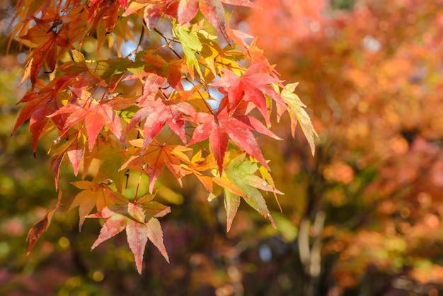 Fond de feuilles d'érable rouge et vert automne
