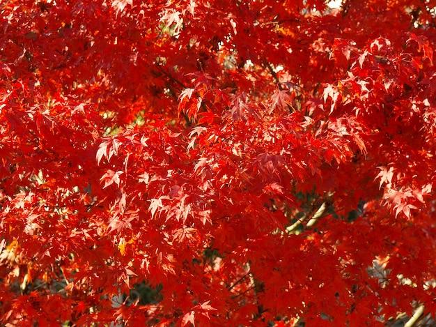 Fond de feuilles d'érable rouge