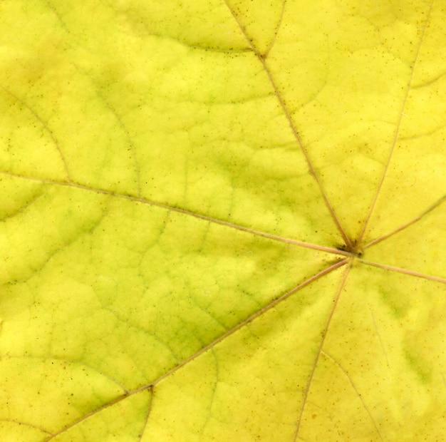 Fond de feuilles jaunes. gros plan d'une feuille automnale colorée