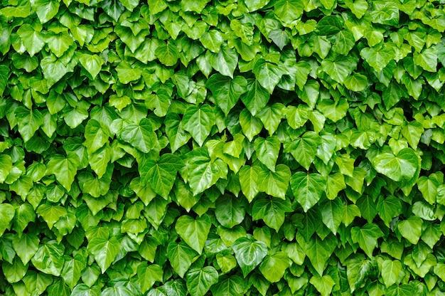 Fond de feuilles de lierre vert