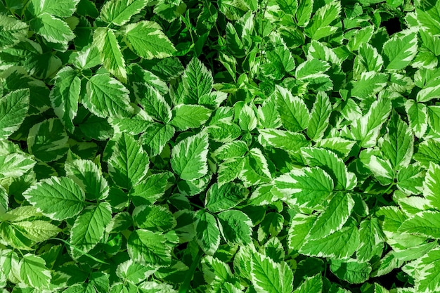 Fond de feuilles de menthe fraîche
