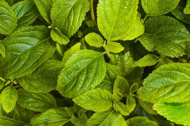 Fond de feuilles de menthe