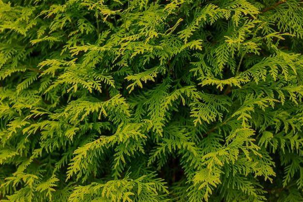Fond à feuilles persistantes, feuilles fraîches de cyprès d'été. fond de feuilles vertes.texture de la branche de cyprès.macro cyprès et motif de fond de graines de cèdre. texture de feuille verte de thuya de cèdre de conifère
