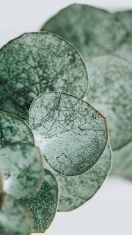 Fond de feuilles rondes d'eucalyptus