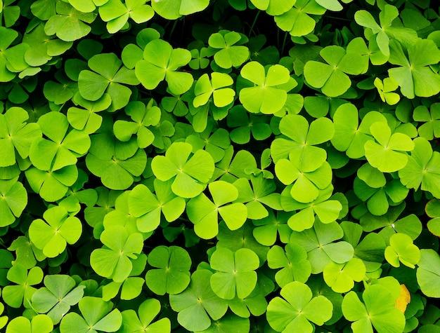 Fond de feuilles de trèfles verts