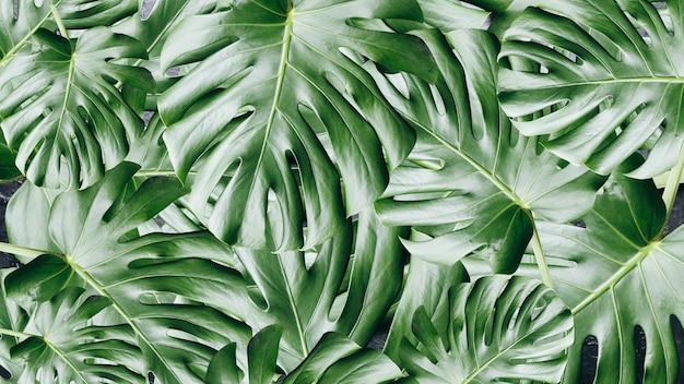 Fond de feuilles tropicales vertes. plante d'intérieur monstera. photo écologique.