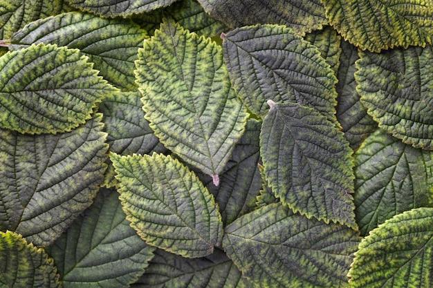 Fond de feuilles vert foncé avec texture