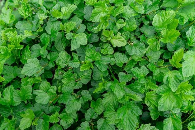 Fond de feuilles vertes de bush