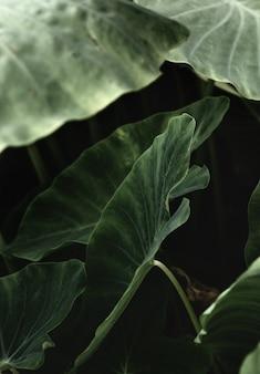 Fond de feuilles vertes (colocasia gigantea / oreille d'éléphant géant / taro indien). mise à plat, concept nature.