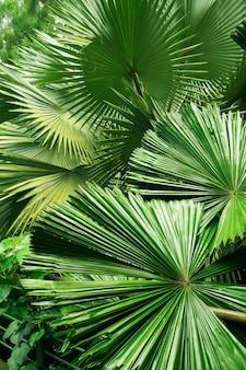 Fond de feuilles vertes géantes dans la forêt tropicale