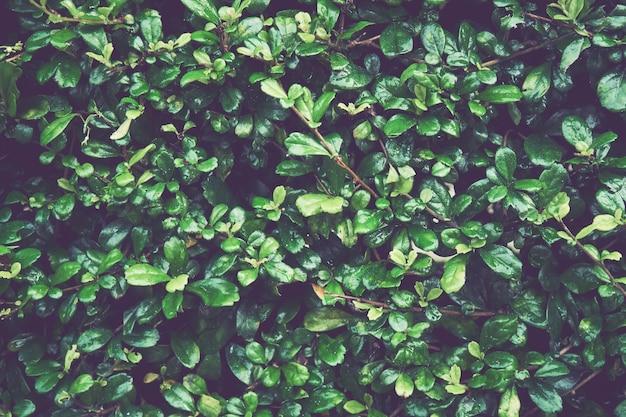 Fond de feuilles vertes. idéal comme modèle.