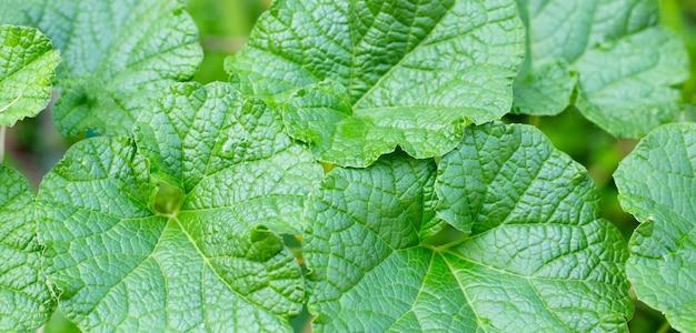 Fond de feuilles vertes melon frais.
