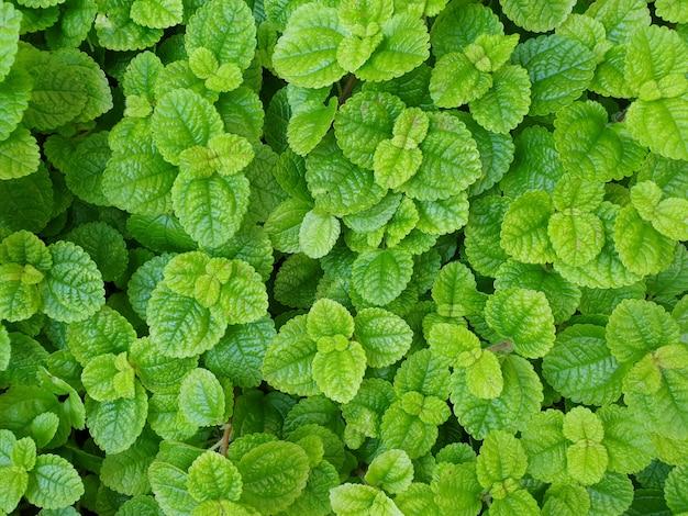 Fond de feuilles vertes naturelles