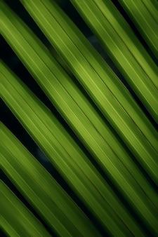 Fond de feuilles vertes de nypa fruticans, communément appelé palmier nipa (ou simplement nipa) ou palmier mangrove