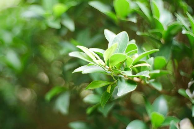 Fond de feuilles vertes, plante de la nature